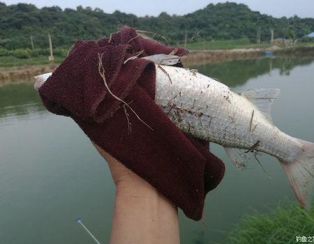秋天咸淡水釣鰱鳙,007終于心想事成! 自制餌料釣鰱鳙魚