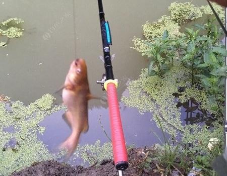 中毒太深,大早起來就這點收貨 龍王恨餌料釣黃顙魚