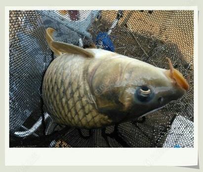 换了口味,初秋野塘钓野鲤 自制饵料钓鲢鳙鱼