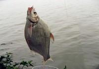 鳊鱼秋季水库垂钓思路与技巧