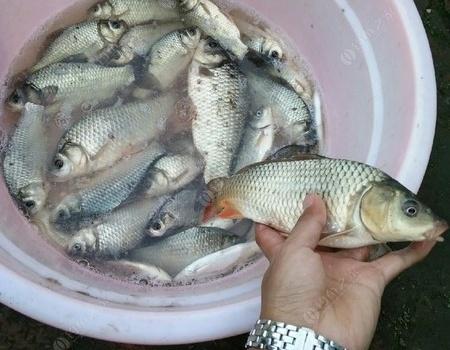 怀念去年今日在卡伦湖钓板鲫 化氏饵料钓鲤鱼