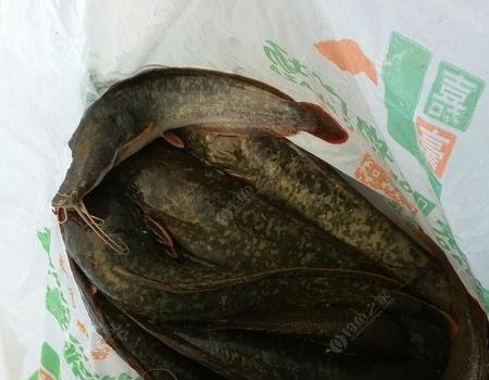 商品餌釣鯰魚,意想不到的驚喜