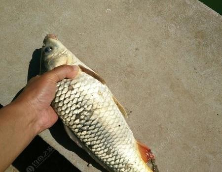 誰說神仙釣不了中午魚? 老鬼餌料釣鯉魚