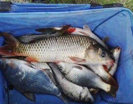 秋季鲤鱼欢 天元饵料钓鳊鱼