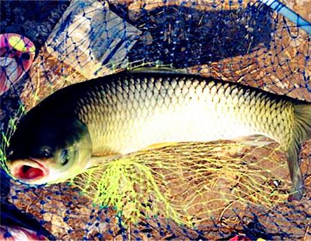 秋雨择河钓草鲤,时机鱼饵很关键!