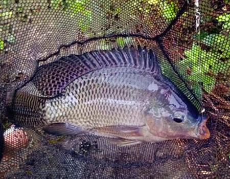 秋季垂釣羅非魚的技巧方法