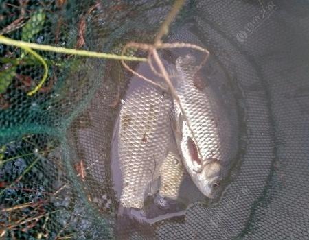 七鲤香究竟适合什么鱼种 钓鱼之家饵料钓鳊鱼