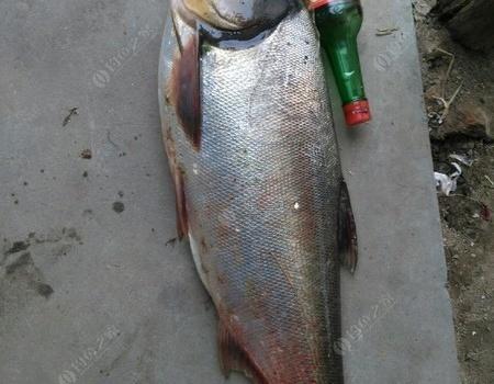 有多少人和我一樣在外不能回家過中秋節的 老鬼餌料釣鰱鳙魚