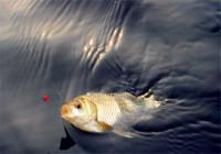 淡水魚的四種生活習性解析