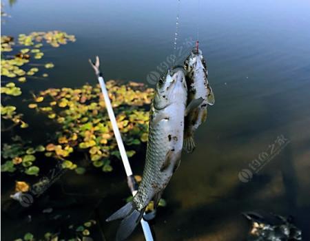 白洋淀支流垂钓野生小板鲫。