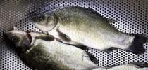 钓鱼不成那就吃鱼,手艺一般大家莫笑