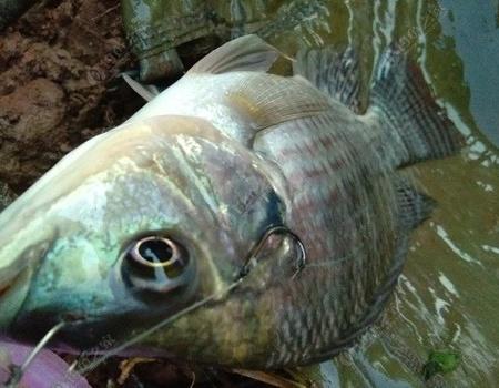 发10月20日,通宵的鱼获 自制饵料钓罗非鱼