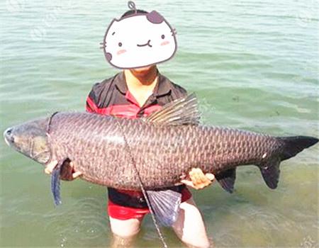 秋季微风天在湖泊钓青鱼、草鱼如何开饵?