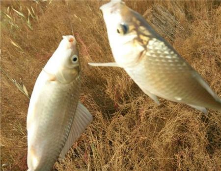 老钓位初试红虫,好鱼口双飞板鲫 红虫饵料钓鲫鱼