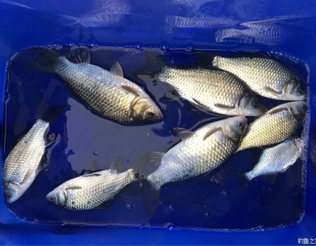 多久没有发鱼获了,今天冒雨两个小时的鱼获 钓鱼之家饵料钓鲫鱼