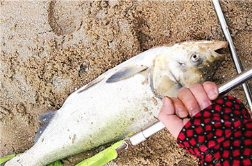 垂钓渔获日记 意外的大鲢鱼