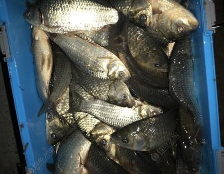 新料试饵,综合塘狂拉奶鲫,80斤妥妥的。