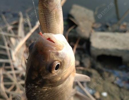 从河流到野塘 红虫饵料钓鲫鱼