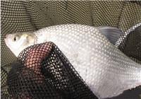 钓鳊鱼选饵选时打窝技巧详解