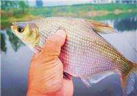 钓友解析野钓鳊鱼需了解的打窝技巧续