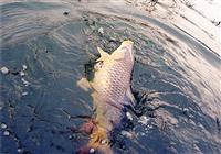 臺釣新手經常脫鉤跑魚的原因解析