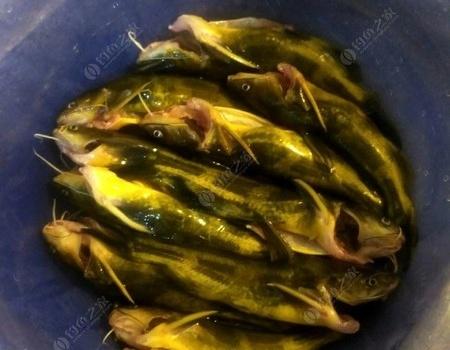 看你們還怎樣扎我,害我瘸了兩天 老鬼餌料釣黃顙魚