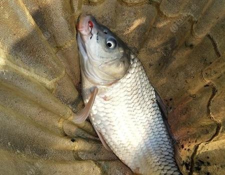 空鉤逗釣 (塔山水庫逗鯽鯉) 擬餌釣鯉魚