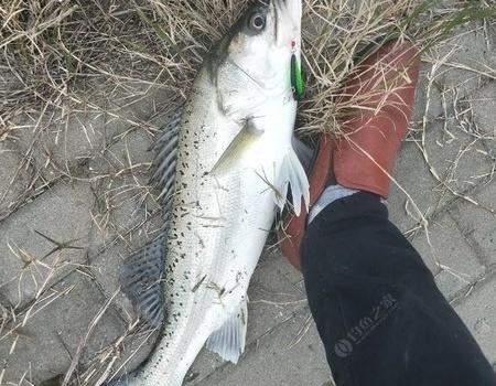 第一次吃自己路的鱸魚 VIB餌料釣翹嘴魚