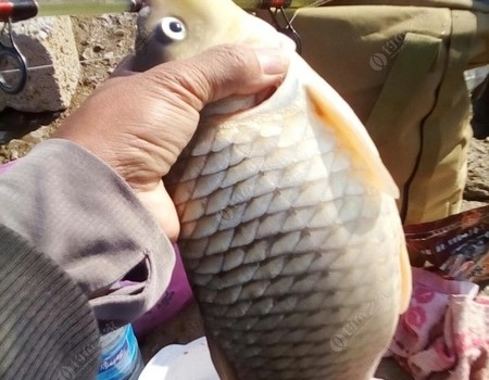 在这个水库终于钓到过两斤多的鲤鱼了 自制饵料钓草鱼