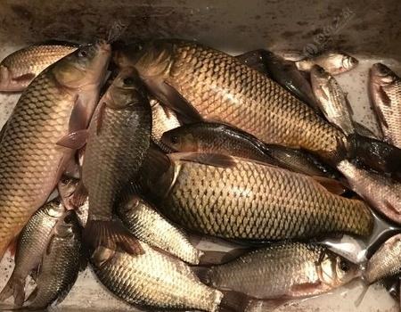 北风劲吹  鱼获丰收 红虫饵料钓鲤鱼