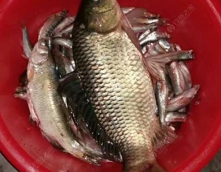 第一次钓到黄河大鲤鱼