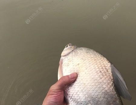 又一个完爽歪歪的巜星期三》 钓鱼之家饵料钓鳊鱼