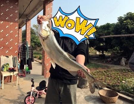 2018年元月元日,翘嘴红鲌,88公分,8斤。大吉大利。 VIB饵料钓翘嘴鱼