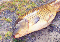 3种老钓手野钓常用的中药鱼饵配方