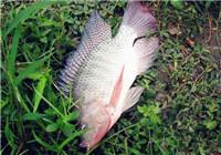 达人分享钓罗非鱼自制冷冻饵的注意事项