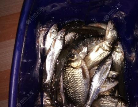 小池塘大板少小鯽多 紅蟲餌料釣鯽魚