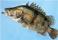 入门玩家路亚鳜鱼选饵技巧与钓法运用续