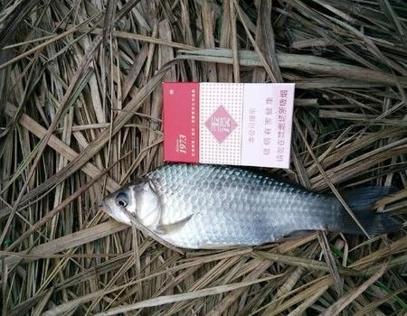 不看老天的脸色,将钓鱼进行到底! 蚯蚓饵料钓鲫鱼