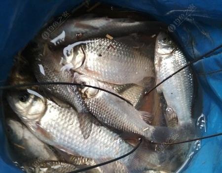 嘗試雨霧天釣魚(釣魚日記) 紅蟲餌料釣鯽魚