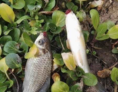 谁说冬季要钓深,天气变化鱼都在浅水。 红虫饵料钓鲫鱼