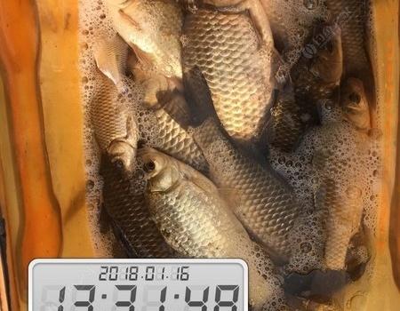 ①⑧年,傳統~第二篇!!!(淺灘釣板鯽)。 紅蟲餌料釣鯽魚