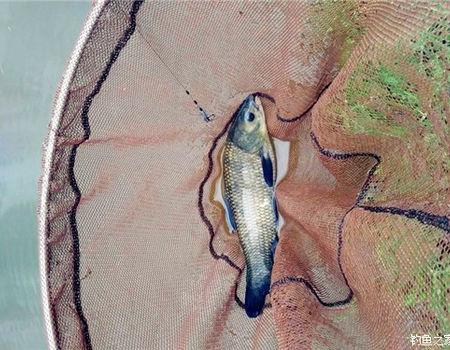 本想在野河钓罗非,却意外收获鳊青跟鳙鱼