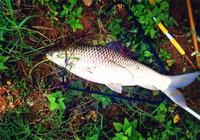 庫釣鯪魚技巧與用餌配方揭秘