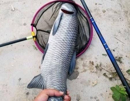 14斤大青鱼140元,又破了大鱼记录