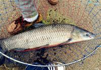 野生青魚的習性與庫釣技巧
