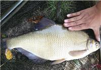 浅谈三款野钓鳊鱼常用的饵料