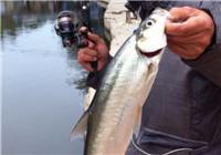 釣巧嘴和白條魚的漁具選擇與釣技應用