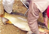 野钓鲤鱼饵料配方分享