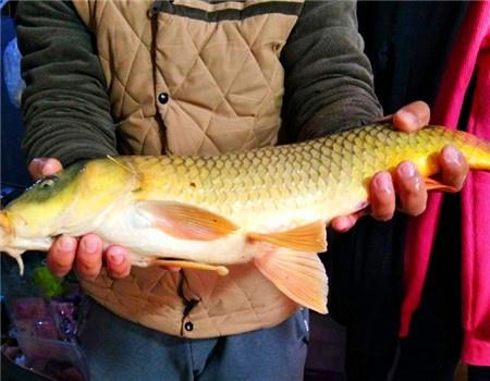 降温之前刷新记录 红虫饵料钓鲤鱼