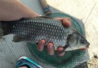 冬季釣魚不會找魚窩,記住這三點,直搗鯽魚窩!